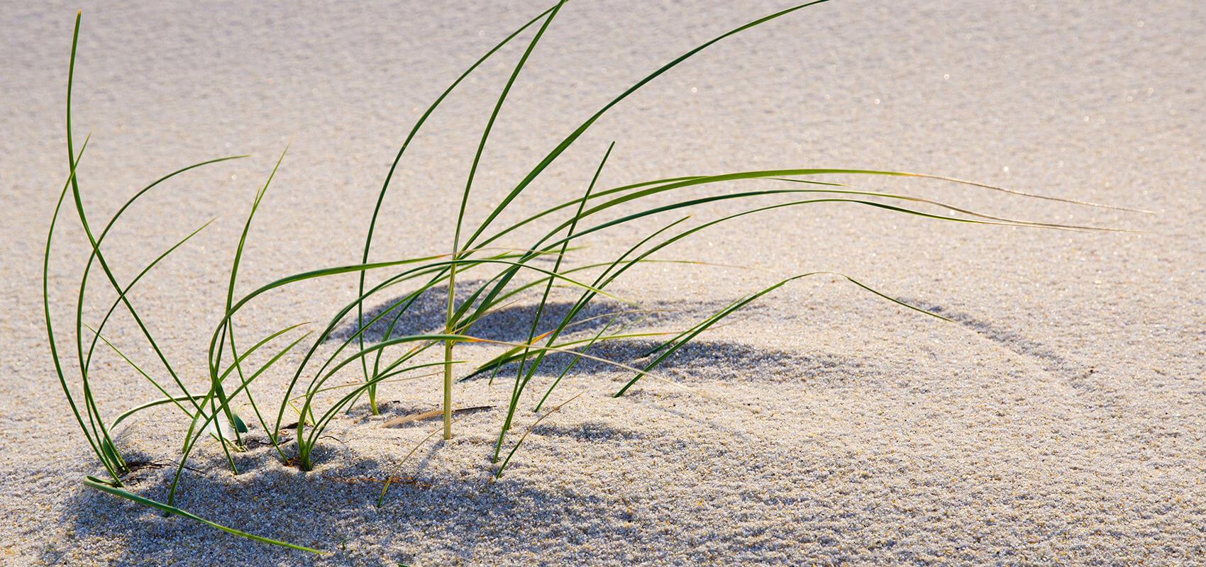 Dünengras kommt durch den Sand durch